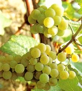 albarino_grapes.jpg